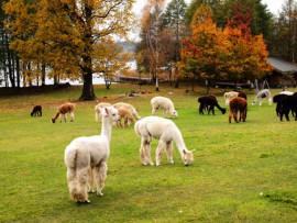 Alpakos, vandens parkas, šokolado fondiu